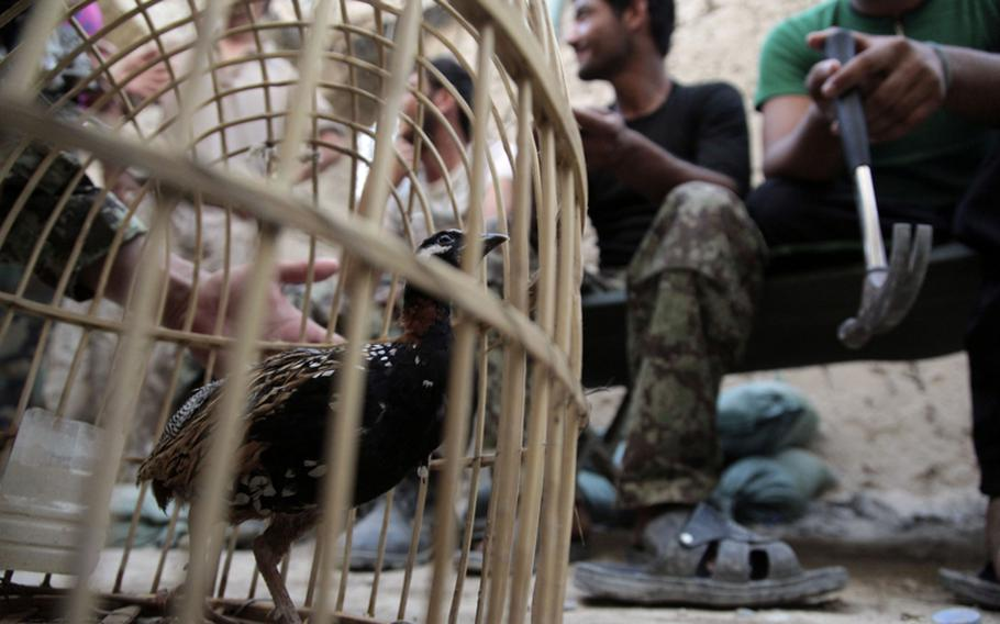 A small bird Afghans use in a variation of cockfighting struts around a wicker cage at an Afghan army patrol base.