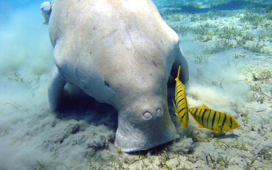 A Japanese Ministry of Defense report stated that dugongs had been seen eating seagrass in Oura Bay off the island of Okinawa -- the proposed site for a new runway for the U.S. military.