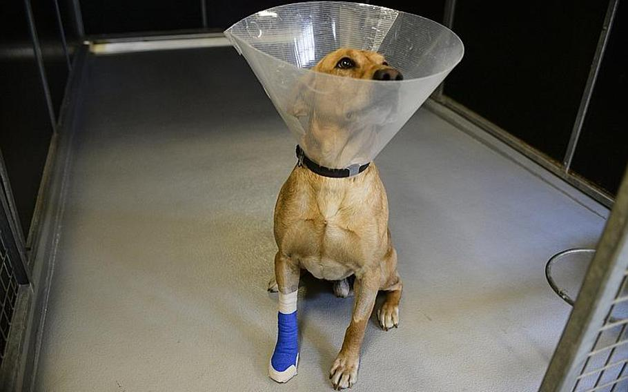 Corky, a bomb-sniffing golden Labrador, wears a cone collar in the kennels at Ramstein Air Base, Germany, where he's awaiting transport to the United States. Corky is recovering from a gunshot wound he received  in northeastern Afghanistan's Kapisa province on Jan. 19, 2014.