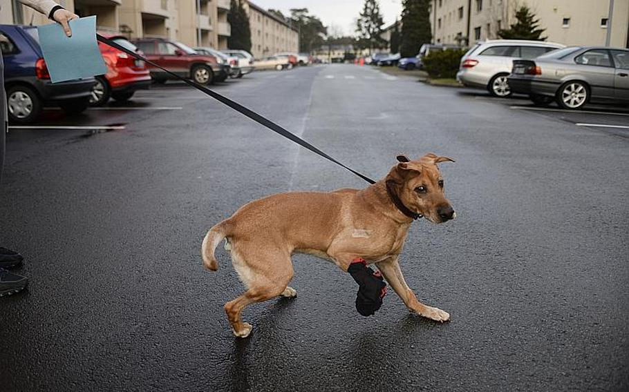 With his injured paw securely wrapped, Corky heads to a reunion with his handler, Sgt. Eric Goldenthal, at Landstuhl Regional Medical Center, Germany.