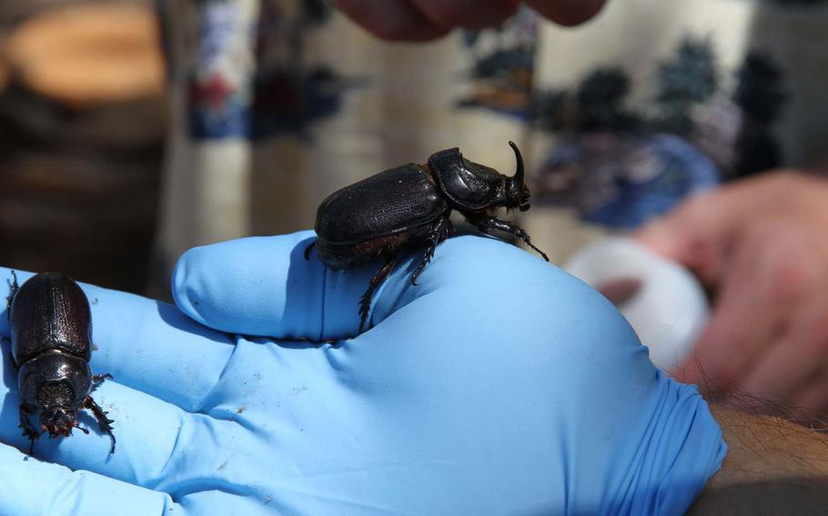 """A technician holds two coconut rhinoceros beetles in his gloved hand that were found Wednesday on Joint Base Pearl Harbor Hickam. The beetle earned its name for its ravenous appetite for palm trees and rhino-like """"horn"""" jutting from the head."""
