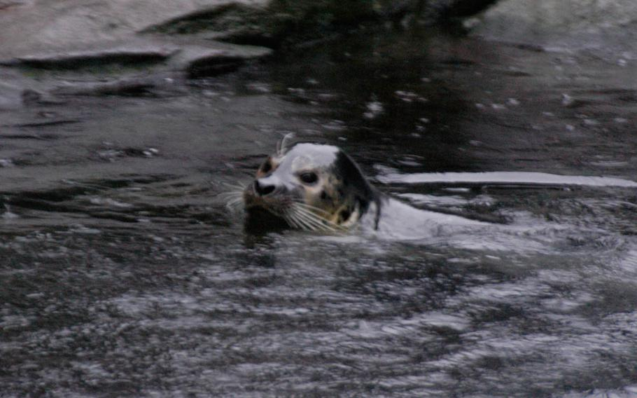 A seal swims at the SeaLife Center in Seward, Alaska. During the summer, visitors flock to the resort town.