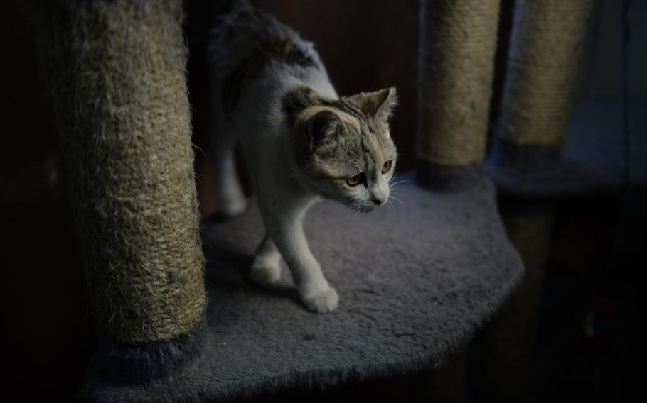 A recently vaccinated kitten found outside the main gate of Resolute Support headquarters walks around the base's Feline Force Protection Program's office. Volunteers say fewer cats are being discovered and sent for treatment because the vaccinated cats chase new ones away. They also don't procreate because they are fixed.