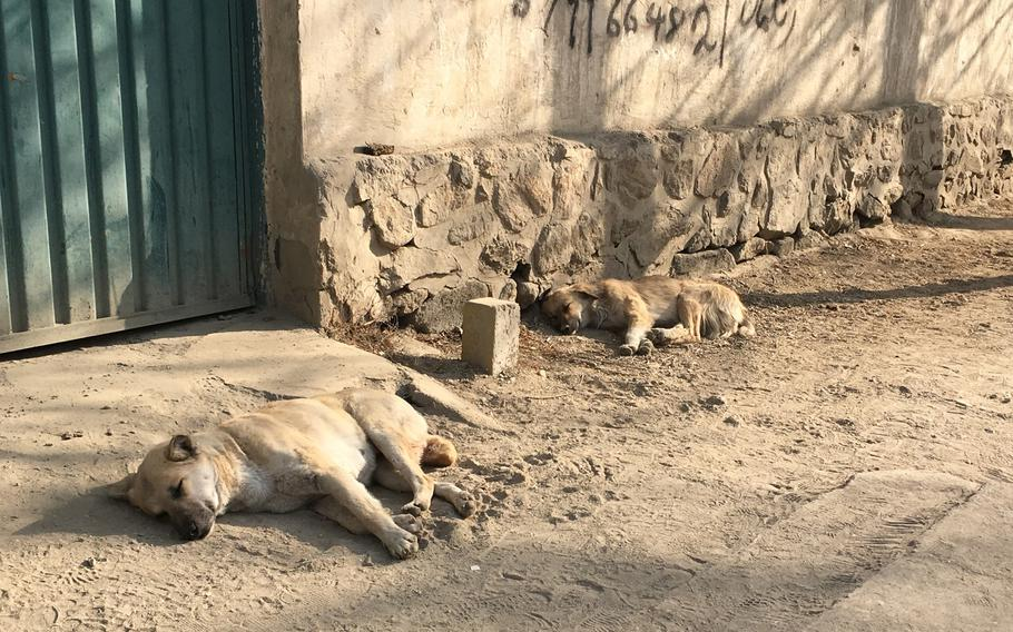 Stray dogs loiter on a street in Kabul, Afghanistan, on Dec. 27, 2016. Health experts in Afghanistan say almost all human cases of rabies in the country are transmitted through dog bites. Few, if any, are caused by cats.