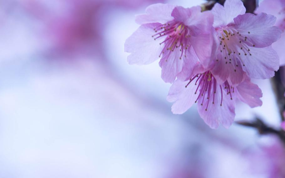 The Japan Meteorological Corporation said most cherry tree blooms would begin appearing in the southern parts of mainland Japan Tuesday, March 20, 2018, and in the north by April 30.