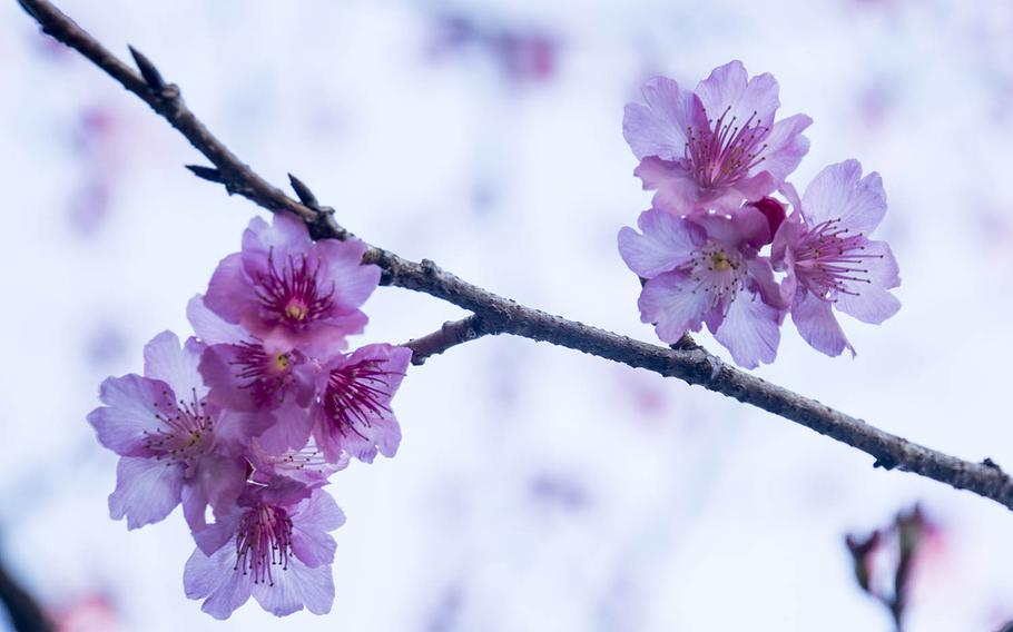 The annual National Cherry Blossom Festival kicks off in Washington, D.C., Tuesday, March 20, 2018, and will continue through April 15.