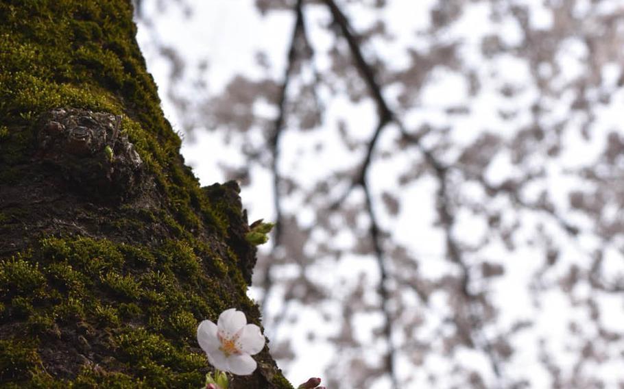 Sakura blossom at Yokota Air Base, Japan, Tuesday, March 27, 2018.
