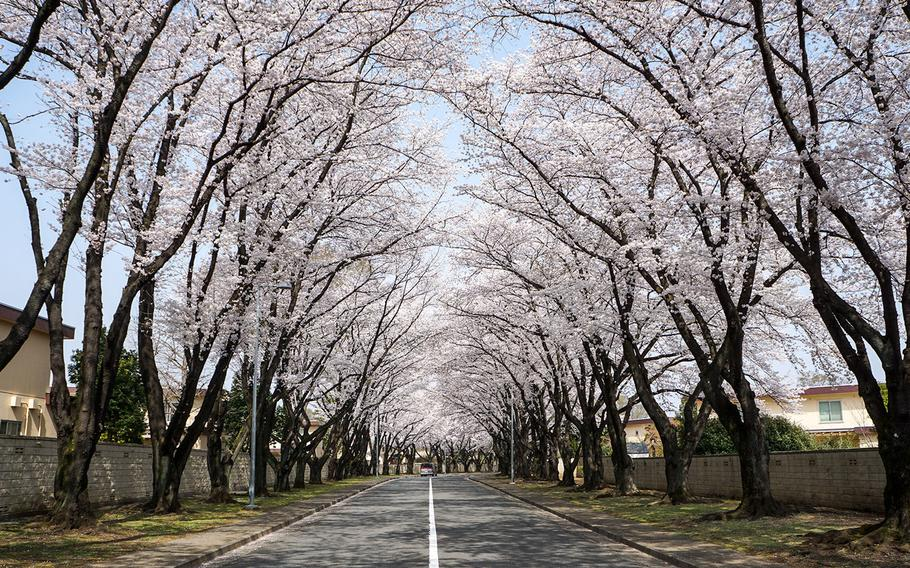 Blooming cherry blossom trees line a roadway at Yokota Air Base, Japan, Thursday, March 29, 2018.