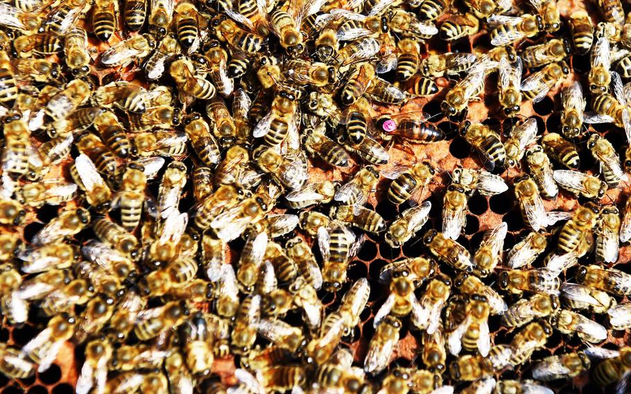 """A queen bee, marked with a pink """"tattoo"""" near the top right corner, is surrounded by her subjects at U.S. Army Garrison Ansbach, in Ansbach, Germany, Friday, Sept. 7, 2018."""