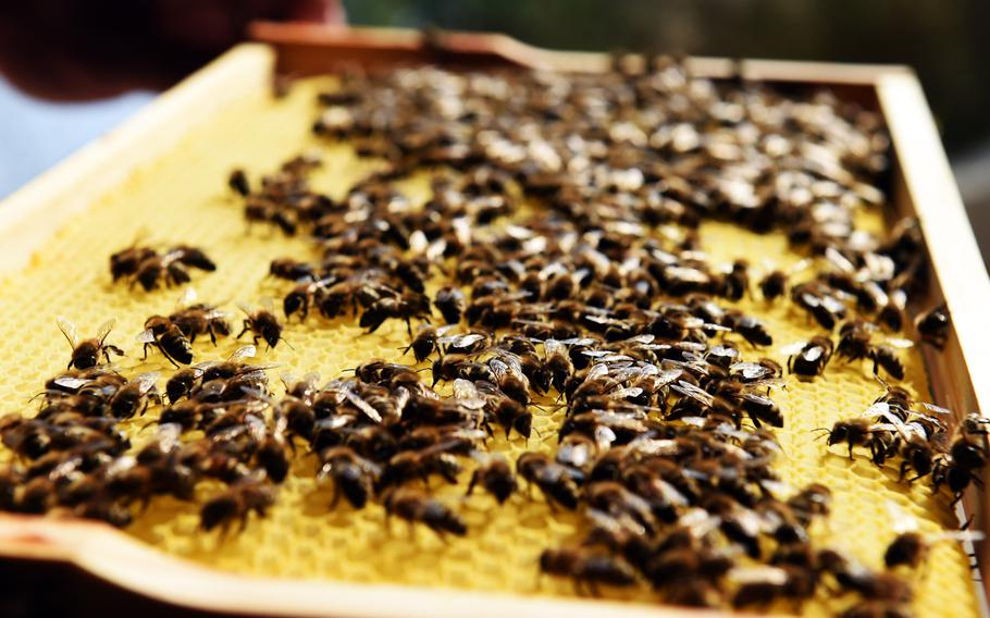 Bees stand on a honeycomb at the new beehives at U.S. Army Garrison Ansbach, in Ansbach, Germany, Friday, Sept. 7, 2018.