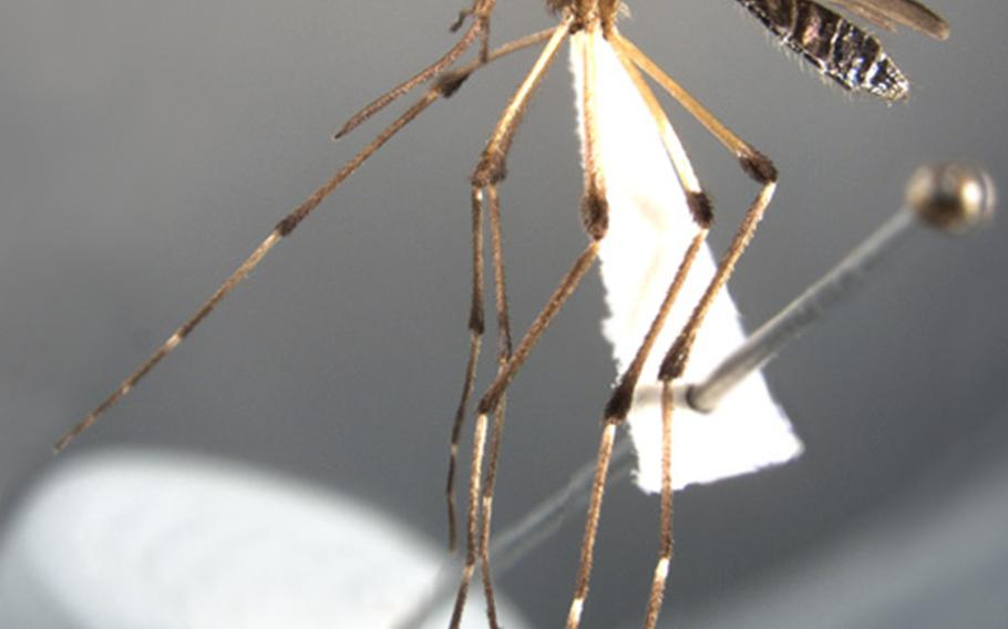 The mosquito Psorophora Ciliata is bigger than most other species and is known for its vicious nature.
