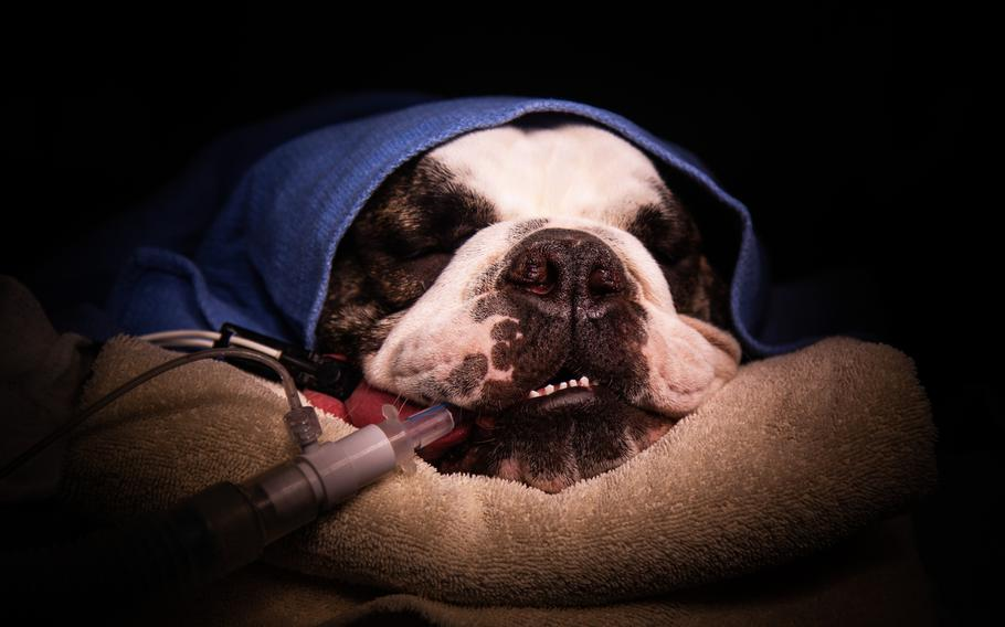 Pfc. Tank Chester, the 3rd Armored Brigade Combat Team, 1st Armored Division mascot, recovers from surgery at Camp Humphreys, South Korea, Wednesday, Oct. 31, 2018. Marcus Fichtl/Stars and Stripes