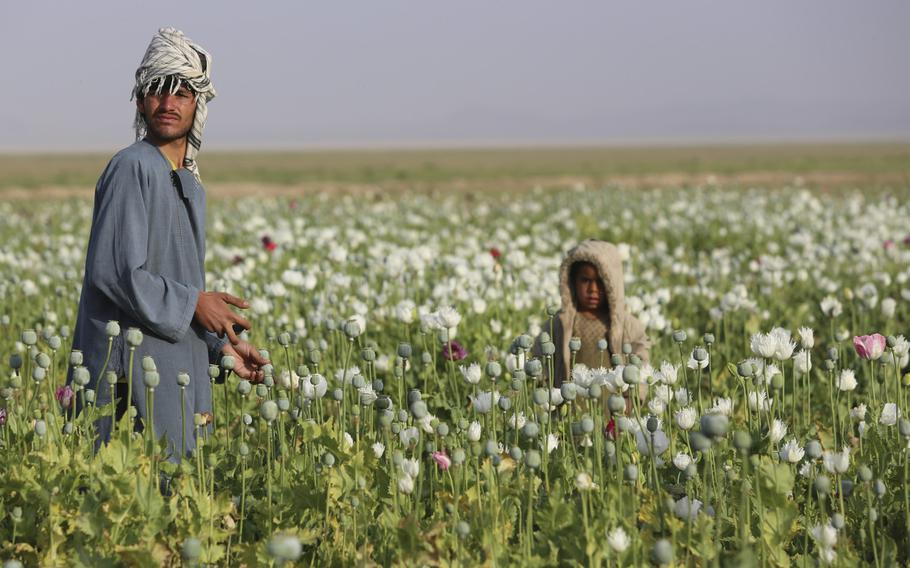 Afghans work in their poppy field in Helmand province. Opium production in Afghanistan has dropped sharply this year, but poppy cultivation remains at high levels, a survey released by the Afghan government and United Nations Office of Drugs and Crime on Monday said.