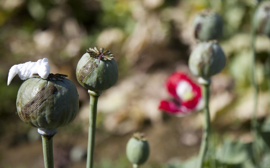 Scored poppy plants await the final harvest in Sangin, Helmand province, Afghanistan. Opium production in Afghanistan has dropped sharply this year, but poppy cultivation remains at high levels, a survey released by the Afghan government and United Nations Office of Drugs and Crime on Monday said.