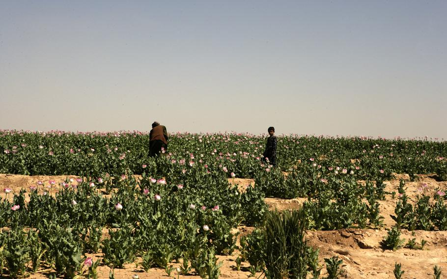 A field filled with opium poppy plants near Marjah, Afghanistan. Heroin is derived from raw opium gum, which comes from opium poppies. Opium production in Afghanistan has dropped sharply this year, but poppy cultivation remains at high levels, a survey released by the Afghan government and United Nations Office of Drugs and Crime on Monday said.
