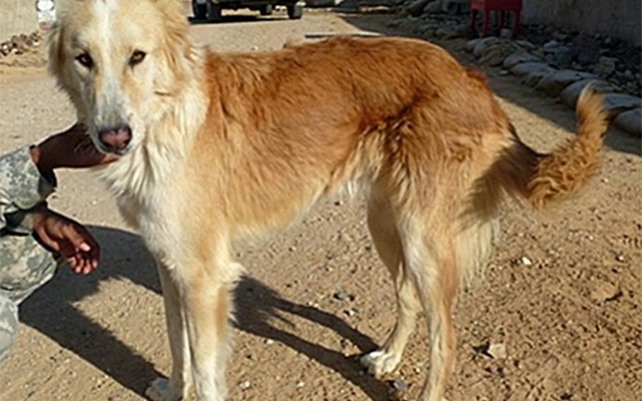 Bernie, one of 14 ''mascot'' dogs vaccinated against rabies on bases in the Sinai Peninsula to which Germany-based troops deployed in 2016, pictured here, was approved for soldiers to play with. But a study found that many other dogs on the bases had not been vaccinated and posed a risk.