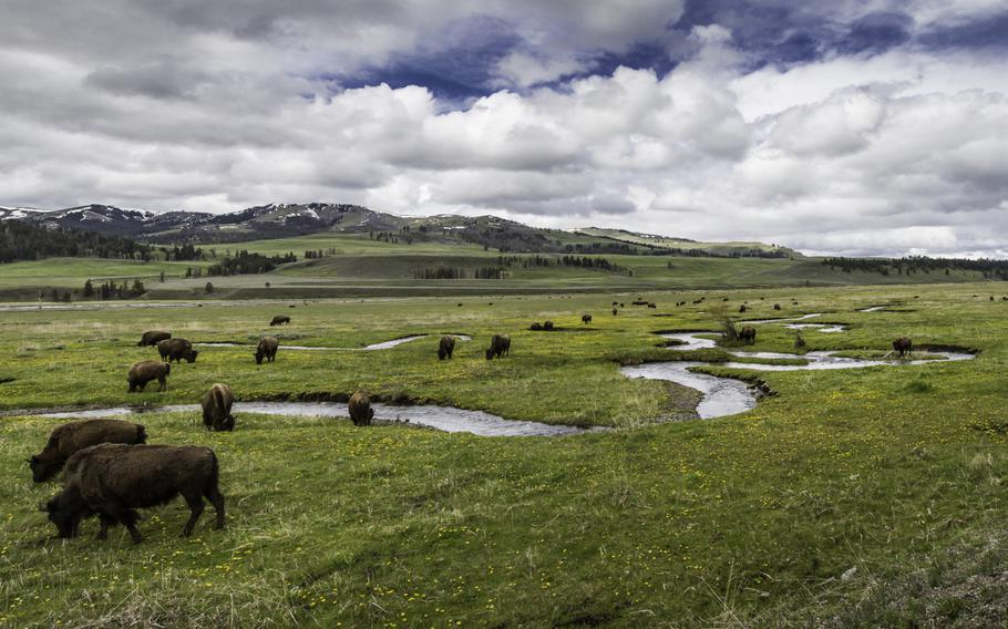 Bison roam along Rose Creek in Lamar Valley, Yellowstone National Park. Servicemembers and their immediate family members are eligible for a free annual national park pass, though most are currently closed due to the federal budget impasse.