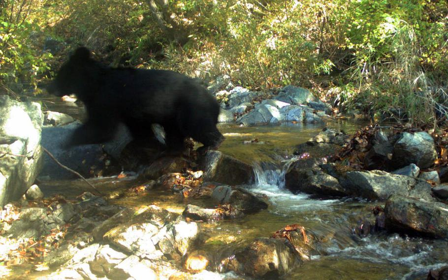 A rare Asiatic black bear cub has been photographed while crossing a stream in the Korean Demilitarized Zone.