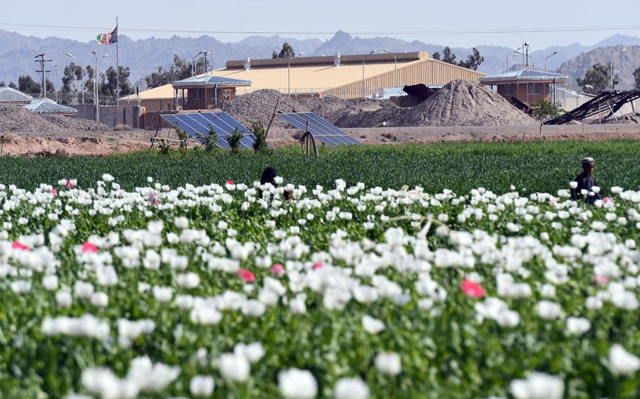 Opium poppies grow near a police station in Zhari district, Kandahar province, on April 9, 2019. Although the acreage planted to poppies in Afghanistan fell last year, the country could produce one of the largest yields of opium in recent years, U.S. government data show.