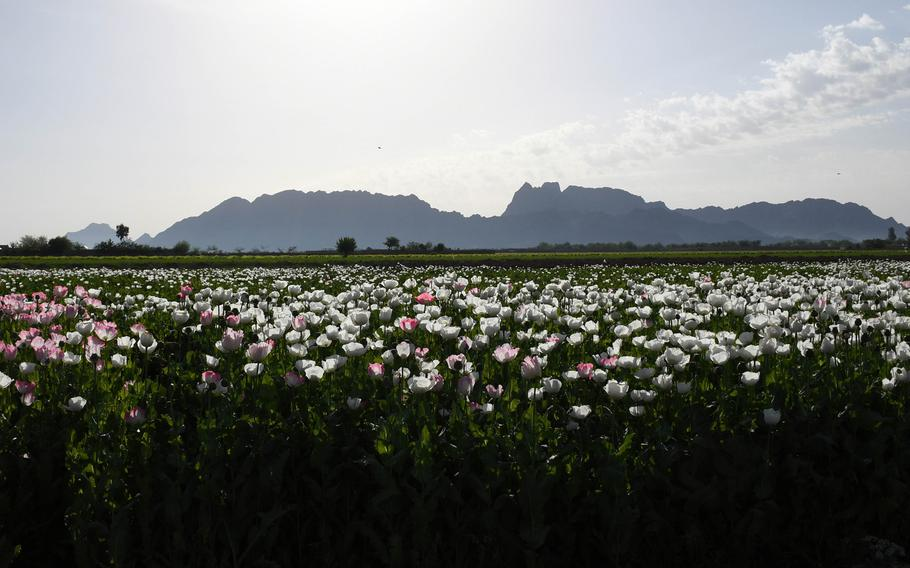 Although the acreage planted to poppies in Afghanistan fell last year, the country could produce one of the largest yields of opium in recent years, U.S. government data show.