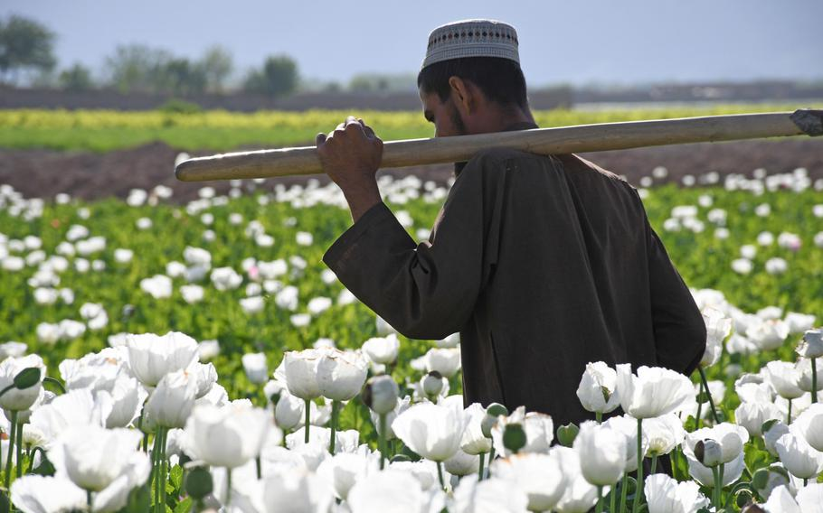 Ghamai, a farmer in Zhari district, Kandahar province, walks through his opium poppy field on April 9, 2019. He says he grows the illegal crop to make money to feed his family.