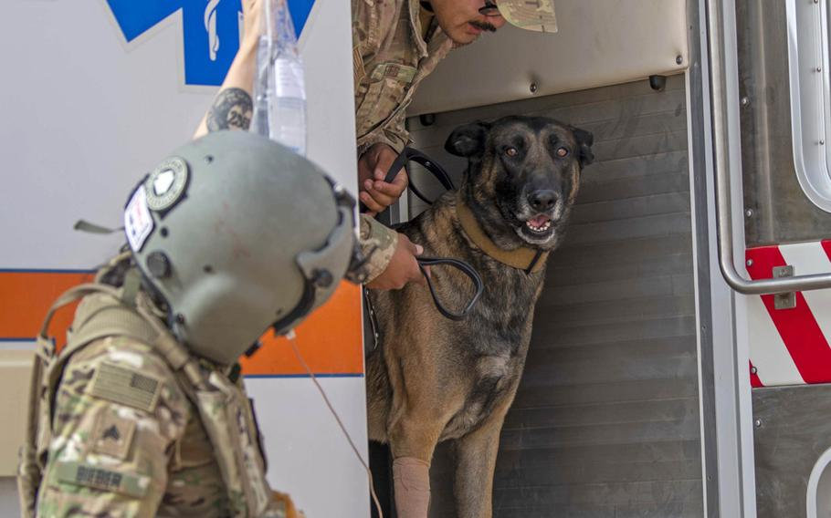 Cvoky, a military working dog assigned to the 378th Expeditionary Security Forces Squadron, exits an ambulance prior to being medically evacuated from Prince Sultan Air Force Base, Saudi Arabia, June 9, 2020. Cvoky was medically evacuated to Kuwait where he received treatment from U.S. Army veterinary workers.