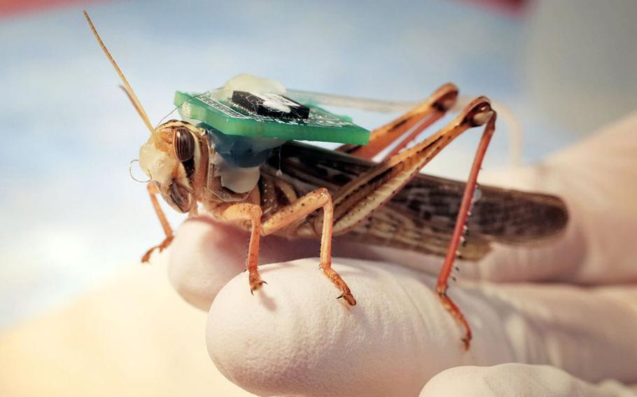 A 'cyborg' locust fitted with sensors to record its brain activity rests on a hand in an undated photo from the Raman Lab at Washington University's James McKelvey School of Engineering in St. Louis. Researchers have published a new study that says the insects can detect and distinguish between the scents of various explosive compounds.