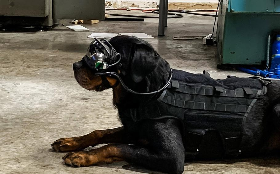 A test dog wears augmented reality goggles developed by the U.S. Army and the Seattle-based Command Sight. The technology could allow military dog handlers to direct their dogs remotely by giving them directions through prompts within the goggles.
