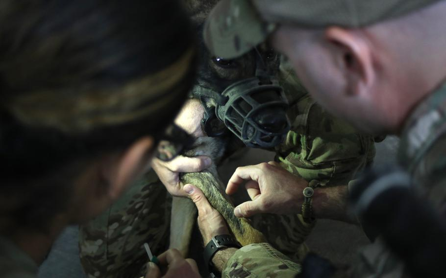 U.S. Army Staff Sgt. Michael Jorgensen, right, a veterinarian technician with the 994th Medical Detachment Veterinary Service, shows how to identify the cephalic vein on a dog to Spc. Mezghan Akbar, left, a medical laboratory specialist with the 466th Medical Company, Area Support, New York National Guard, before she draws blood from Boni, a patrol explosive detector dog assigned to the K9 Task Force at Al Asad Air Base, Iraq, Oct. 7, 2020. Boni, a German Shepherd, was scheduled to have blood drawn so that the veterinary clinic can identify her blood type and initiate a walking blood bank for military working dogs