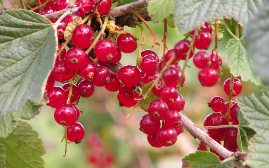 Red currants grow in bunches on a small bush. Although most popular in red and black varieties, currants come in white and pink, too. People pick their own berries for making jams and jellies.