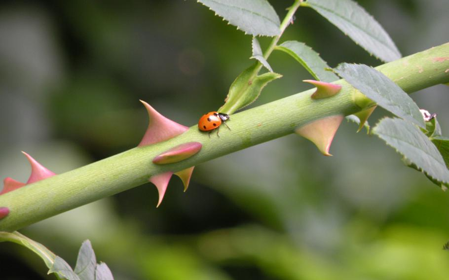 A lone ladybug navigates its way through a  blackberry vine at a pick-your-own farm near RAFs Lakenheath and Mildenhall.