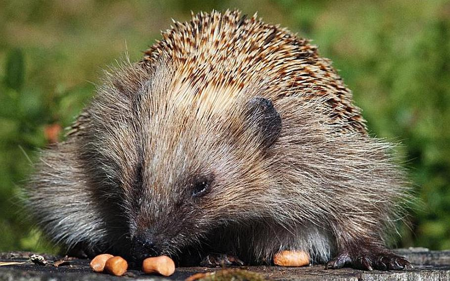 Wildlife is abundant in Finland's lake country.  For example, a very friendly hedgehog is seen here enjoying dry roasted peanuts.