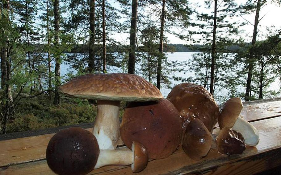 A typical harvest includes huge, wild porcini mushrooms. The cap on the large one seen here was about the size of a small pizza.