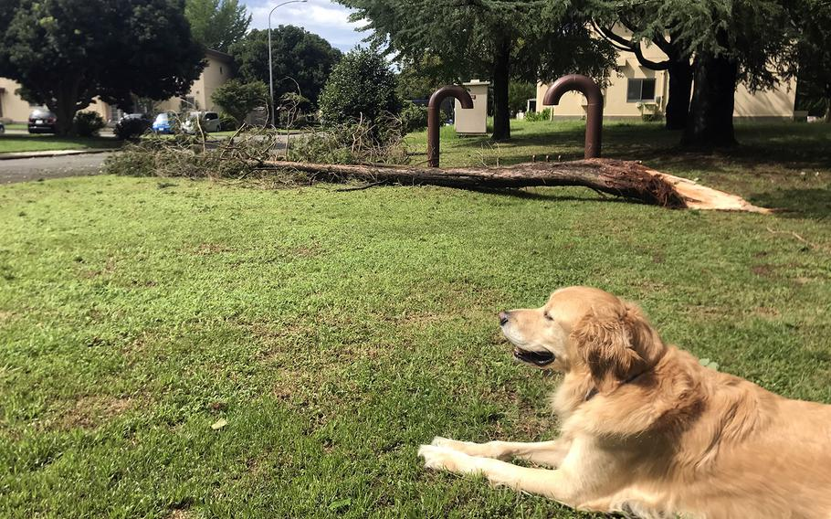 Duke the dog relaxes near a pine tree downed by Typhoon Faxai on the east side of Yokota Air Base, Japan, Monday, Sept. 9, 2019.