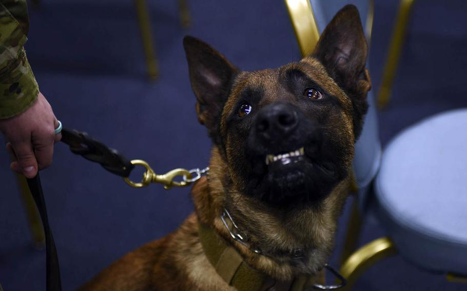 Rroswell, a military working dog, attends an Air Force Achievement Medal ceremony at Yokota Air Base, Japan, Thursday, Jan. 28, 2021.