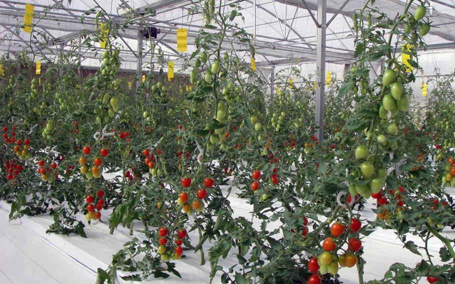 Tomatoes grow in Dubai in 2009 using the hydrogel-based system developed by Japan's Yuichi Mori. On Thursday, Mori presented the system to Yokosuka Middle School teachers and students. School officials hope to use the technology to teach students about nutrition and agriculture.