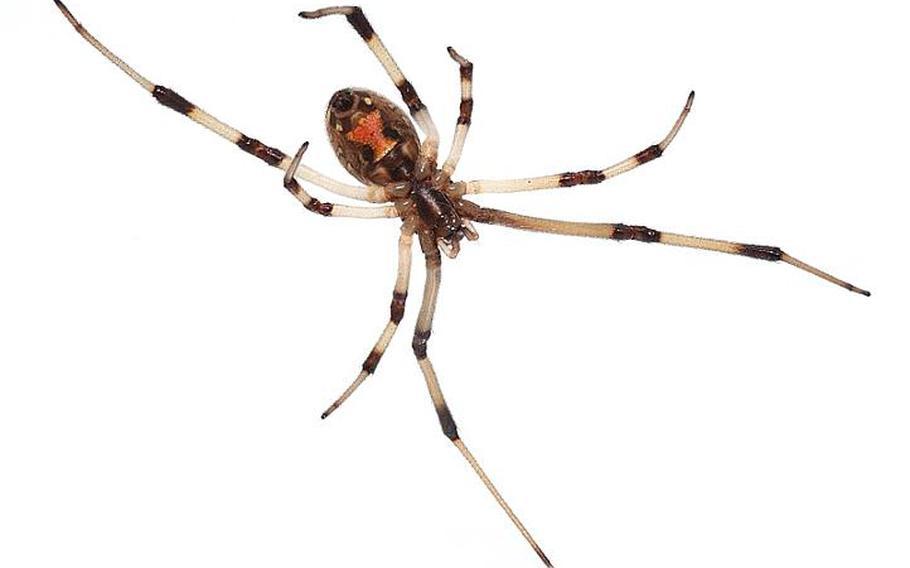 A brown widow spider.