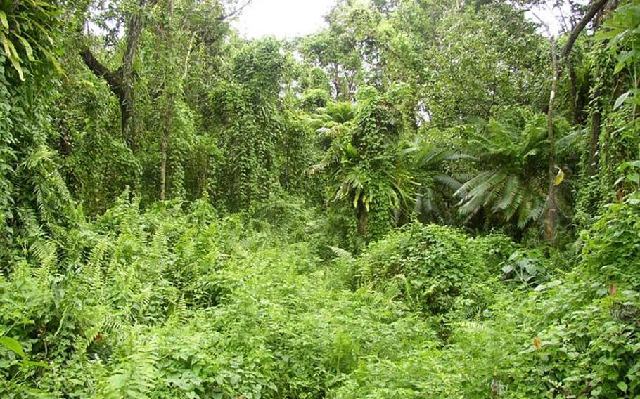 Invasive vines choke out a native jungle on Guam. The island struggles with a variety of environmentally dangerous pests that have been accidentally imported.