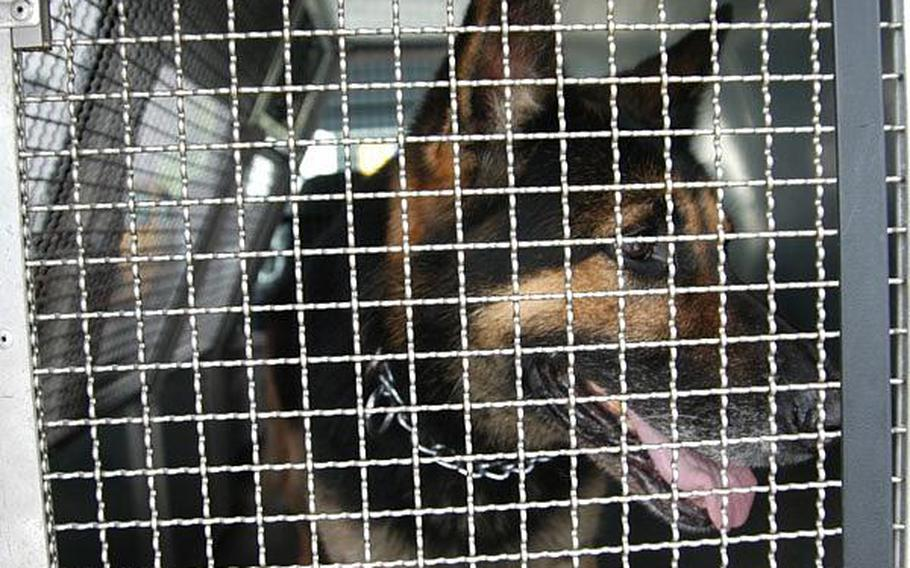 Asta waits patiently in the back of a security van to get to work. The 4-year-old German shepherd is one of nine military working dogs at Sasebo Naval Base.