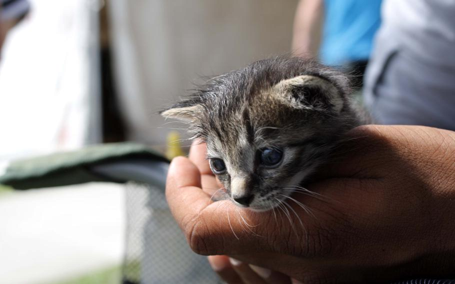 Damon, a 2-week-old kitten, is the star of the show at an adoption event on Kadena Air Base, Okinawa, Sept. 7, 2013.