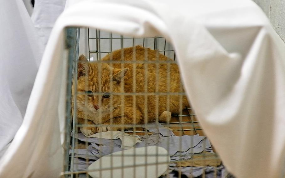 A feral cat captured for a trap, neuter and release program at Yongsan, South Korea, peers from its cage on April 27, 2019.