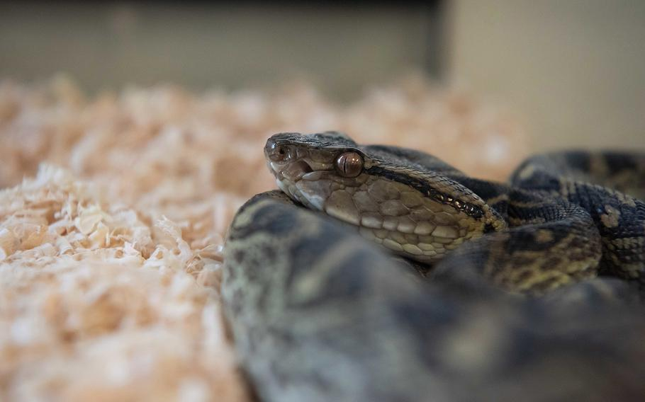A Taiwan habu snake watches people from the corner of a terrarium at the Entomology Pest Management Section at Kadena Air Base, Okinawa, June 5, 2019.