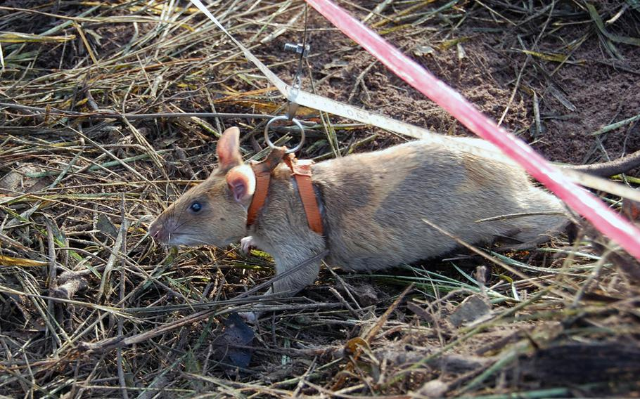 An African pouch rat sniffs for landmines in a suspected minefield in a rural area north of Siem Reap, Cambodia, on Nov. 6, 2016.