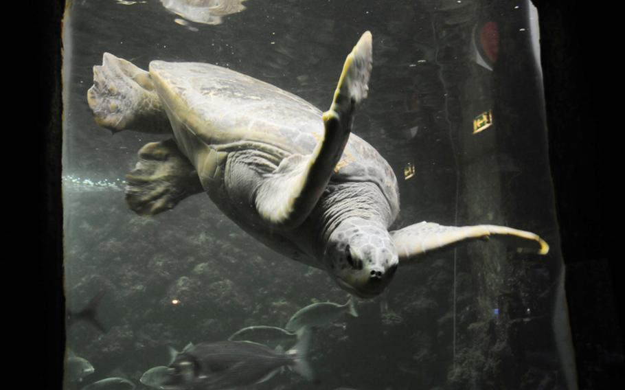 A green sea turtle is one of the main attractions at the Naples aquarium, officially known as Stazione Zoologica Anton Dohrn.