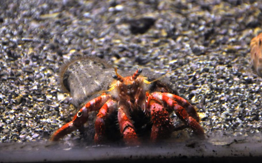A hermit crab living at the Naples aquarium peers out at visitors. The aquarium is part of the Stazione Zoologica Anton Dohrn, a research center that is also open to the public.