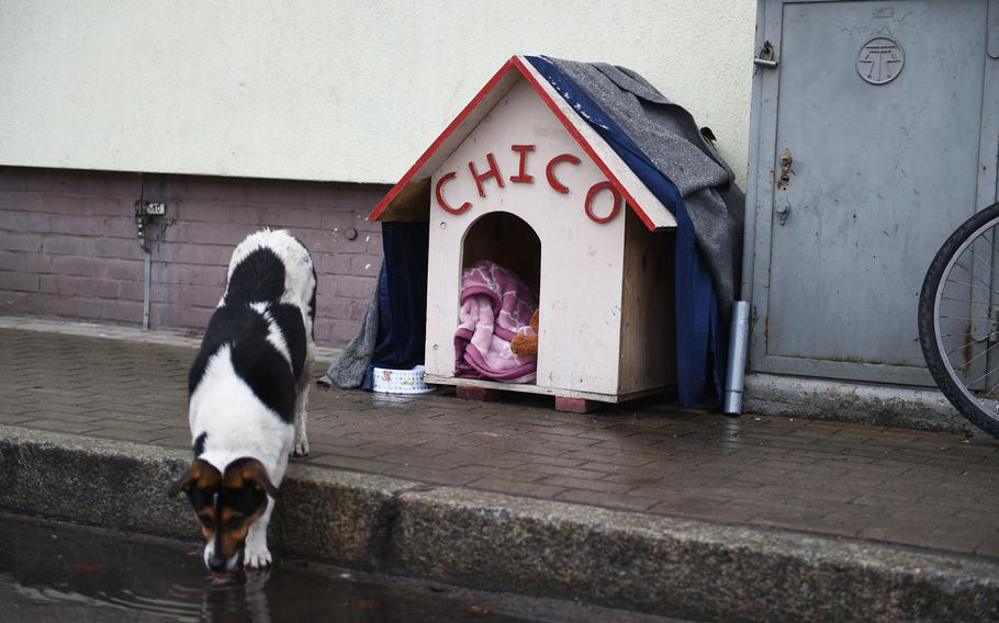 Chico driniks rainwater outside his personalized doghouse at Bemowo Piskie Training Area in Orzysz, Poland. Once a no-name stray, he was adopted by American troops in 2018 and given a name and a home.