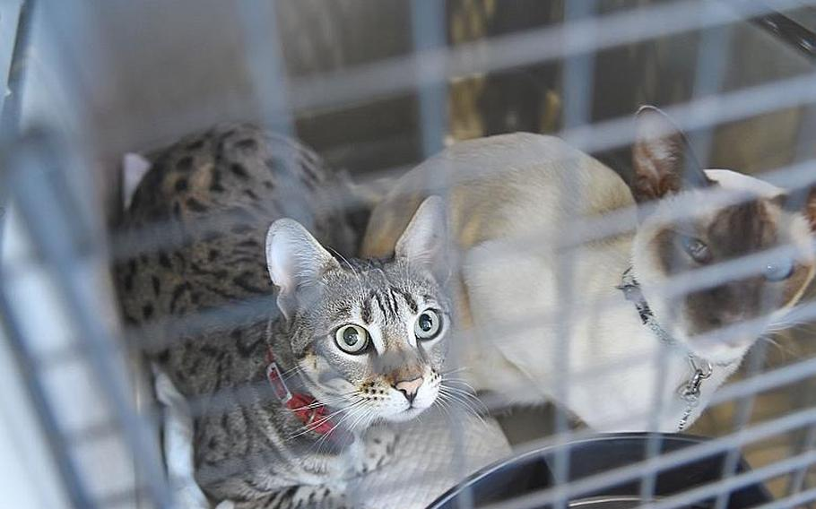 Nala, left, and Evia, peer out from their kennel inside the passenger terminal at Ramstein Air Base, Germany, on Friday, May 29, 2020. Military families are beginning to move again with their pets as the Pentagon's stop movement eases but options for pet transportation are limited and expensive outside of military channels.