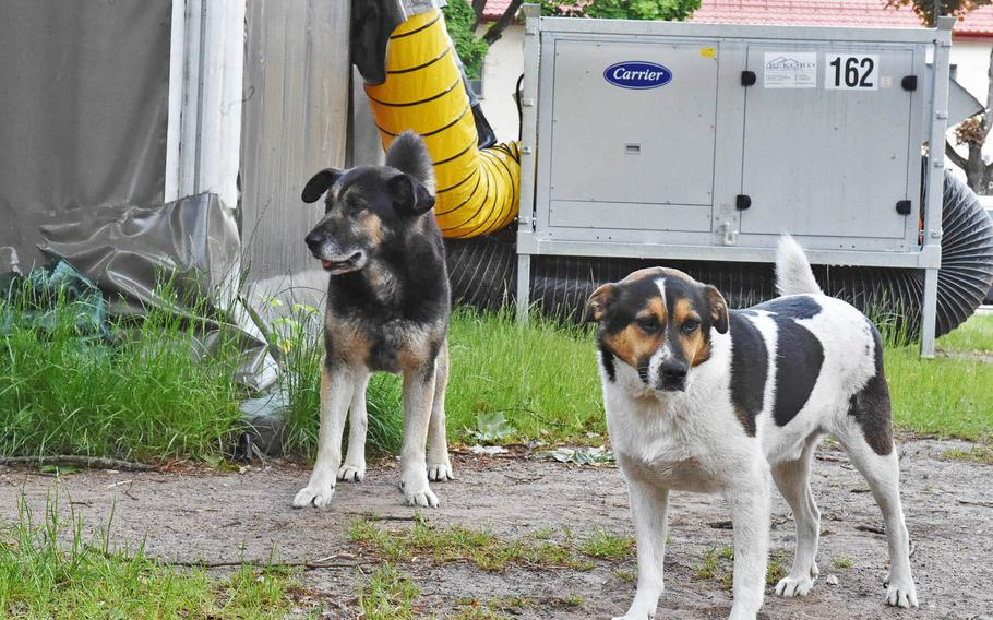 Nacho, left, and Chico stand still for a photo at Bemowo Piskie Training Area in Orzysz, Poland on June 4, 2020. Nacho has been cared for by American troops at the base since early 2020, and Chico since 2018.
