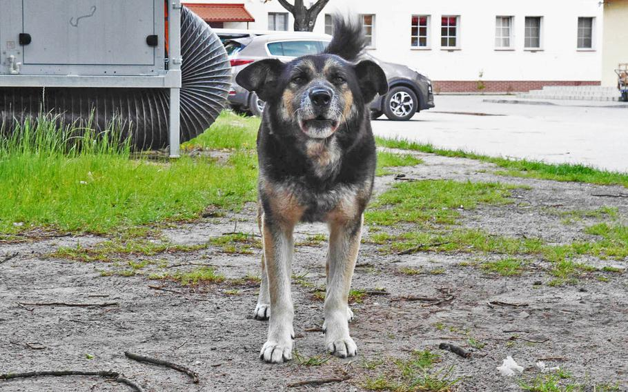Nacho, a dog that troops at the Bemowo Piskie Training Area in Orzysz, Poland, look after, stands still long enough for a picture to be taken on June 4, 2020.