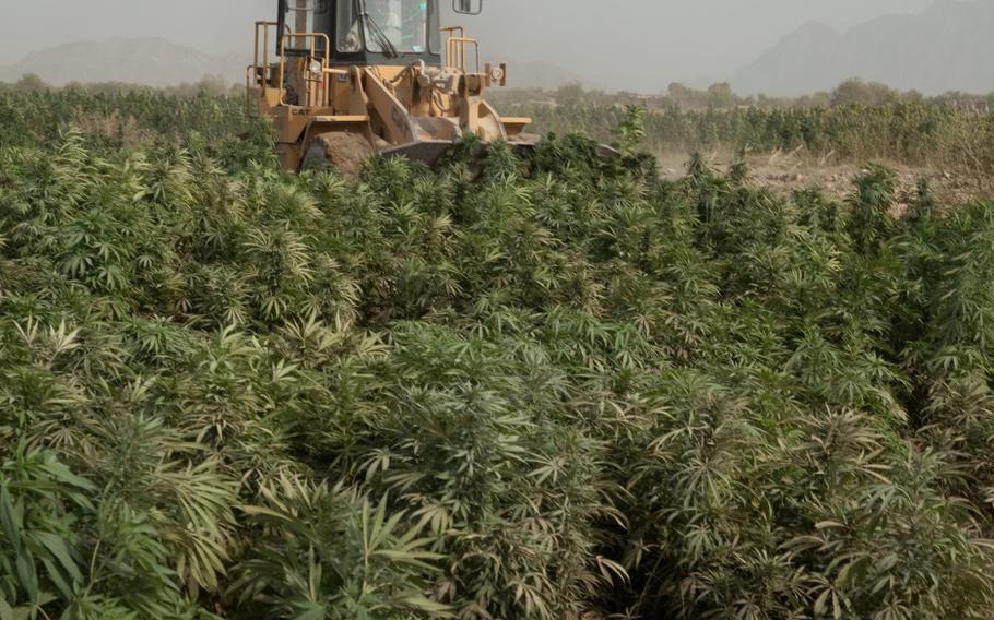 A bucket loader plows through a marijuana field to eradicate the plants, Zharay district, Kandahar province, Afghanistan, Oct. 5, 2011.